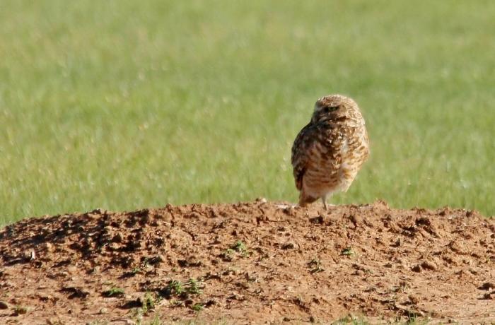 Burrowing Owl (8) (1024x674)