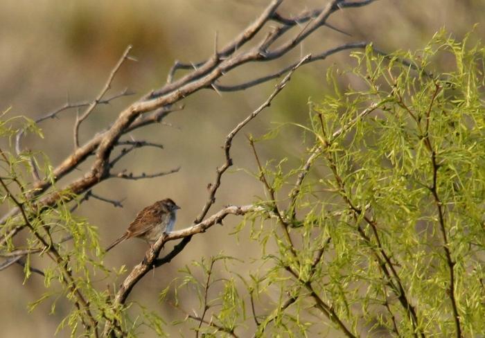 Cassin's Sparrow (12) (1024x714)