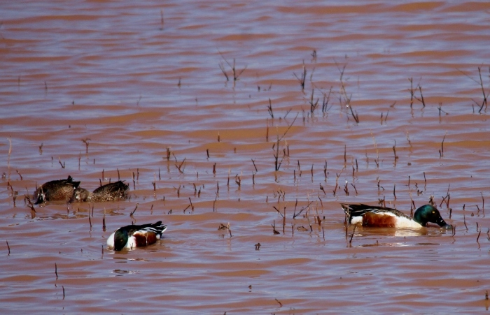 Northern Shoveler and Blue-winged Teal (1024x661)
