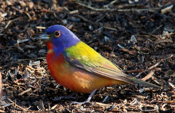 Painted Bunting (51) (1024x660)