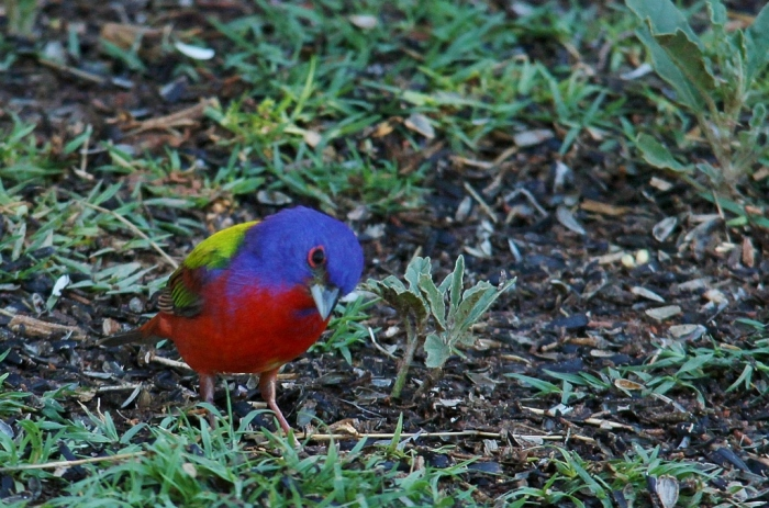 Painted Bunting (55) (1024x678)