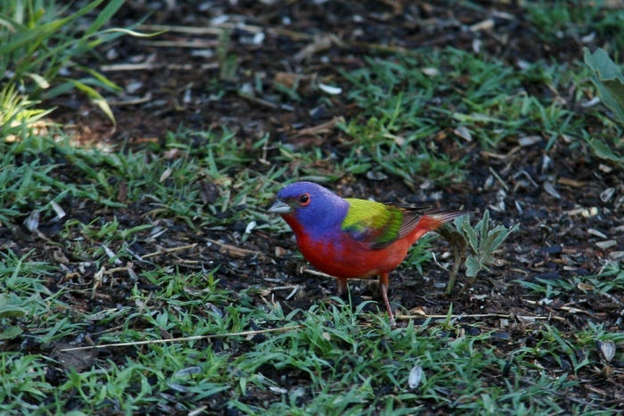 Painted Bunting (58) (1024x684)