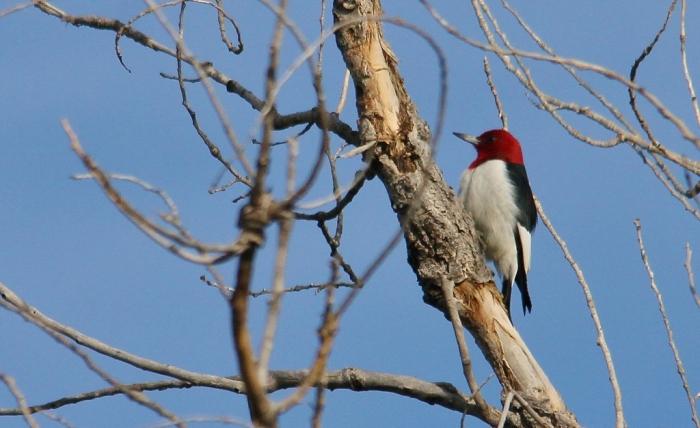 Red-headed Woodpecker (87) (1024x627)