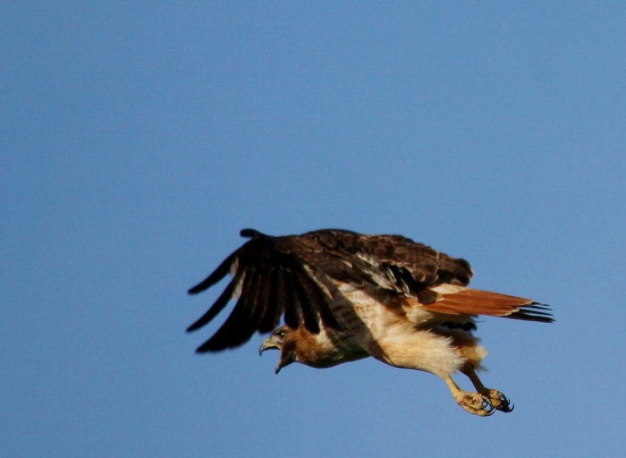 Red-tailed Hawk (36) (1024x750)