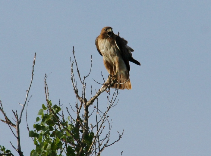 Red-tailed Hawk (39) (1024x760)