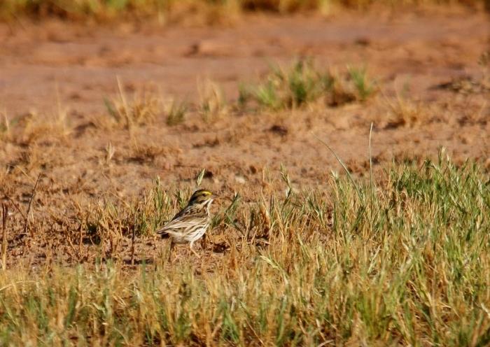 Savannah Sparrow (16) (1024x727)