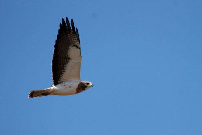 Swainson's Hawk (10) (1024x684)