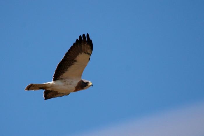 Swainson's Hawk (40) (1024x684)