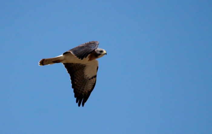 Swainson's Hawk (9) (1024x651)