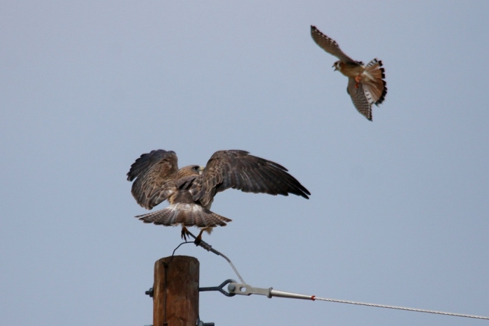 Swainson's Hawk and American Kestrel (1024x684)