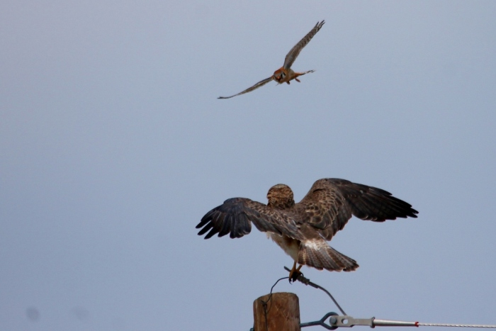Swainson's Hawk and American Kestrel (11) (1024x684)