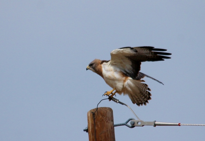 Swainson's Hawk and American Kestrel (14) (1024x707)