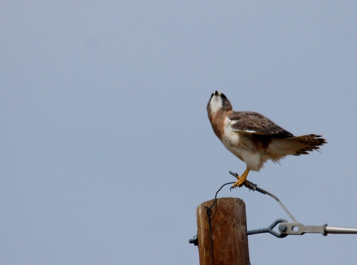 Swainson's Hawk and American Kestrel (15) (1024x761)