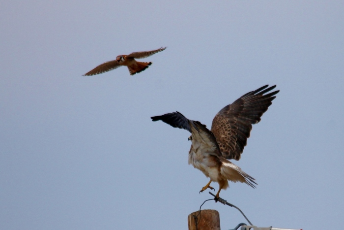 Swainson's Hawk and American Kestrel (18) (1024x684)