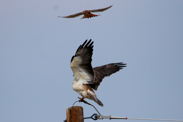 Swainson's Hawk and American Kestrel (5) (1024x684)