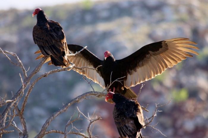 Turkey Vulture (9) (1024x683)