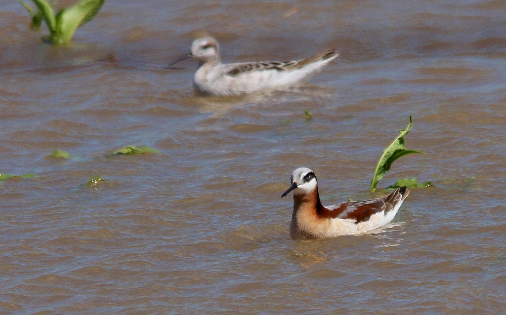 Juvenile Wilson's Phalarope – Mia McPherson's On The Wing ...