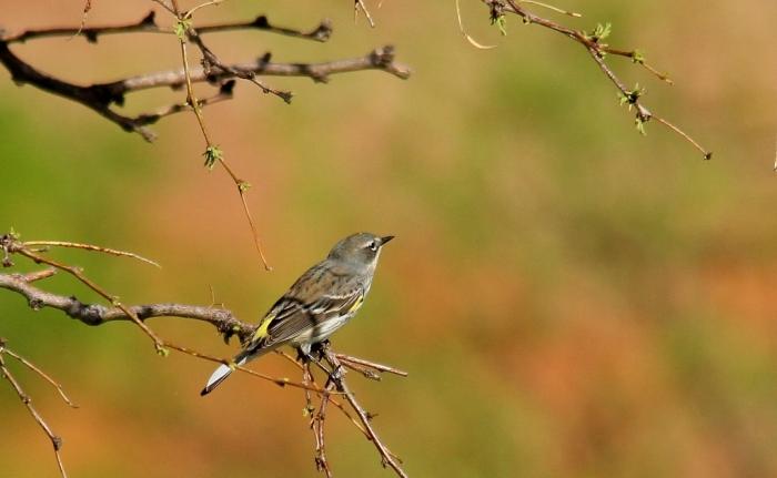Yellow-rumped Warbler (Myrtle) (12) (1024x631)
