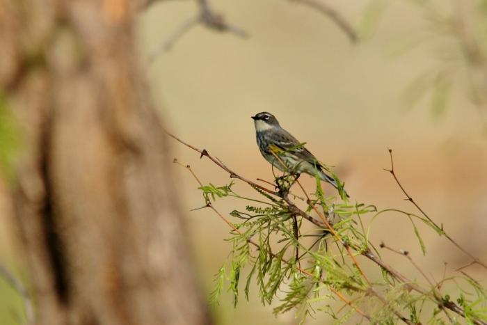 Yellow-rumped Warbler (Myrtle) (7) (1024x684)