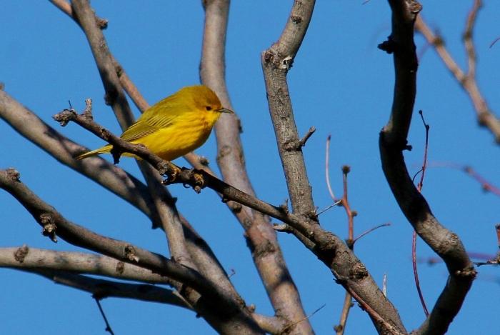 Yellow Warbler (34) (1024x687)