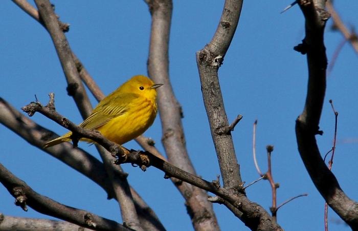 Yellow Warbler (35) (1024x661)