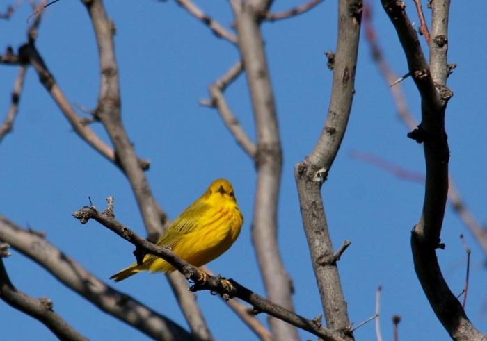 Yellow Warbler (40) (1024x719)