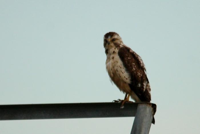 Ferruginous Hawk (19)
