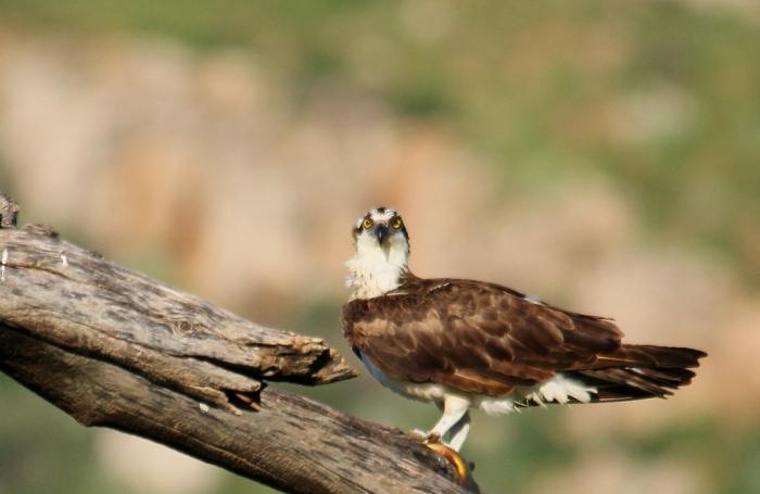 Osprey (49) (1024x667)