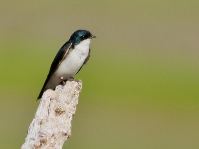 Tree Swallow (25) (1024x769)
