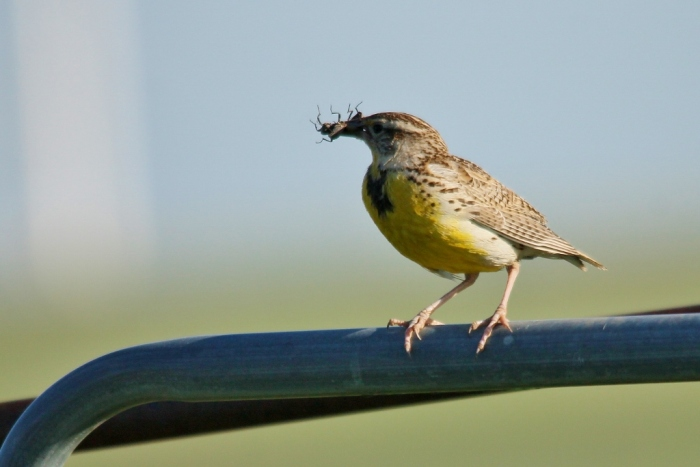 Western Meadowlark (53) (1024x684)