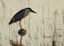 Black-crowned Night-Heron (27) (1024x754)