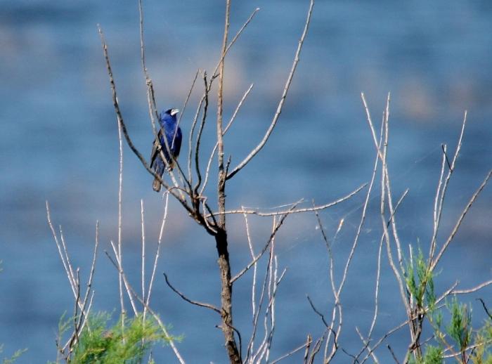 Blue Grosbeak (80) (1024x758)