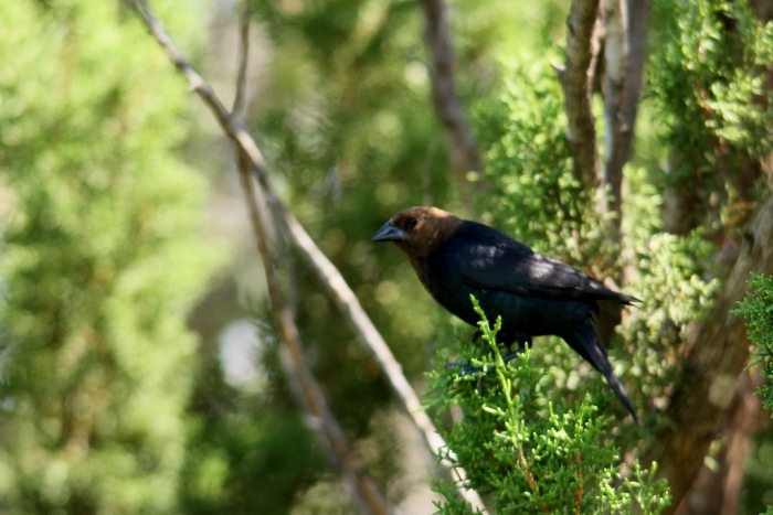 Brown-headed Cowbird (4) (1024x684)