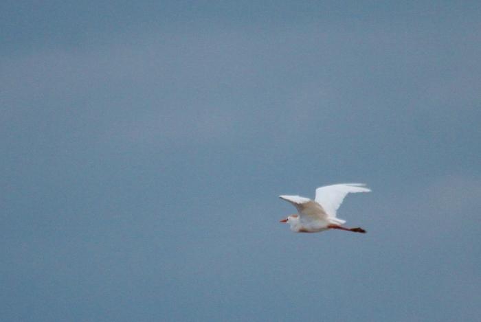 Cattle Egret (8) (1024x687)