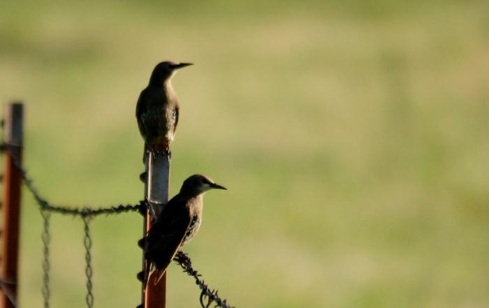 European Starling (12) (1024x646) (1024x646)