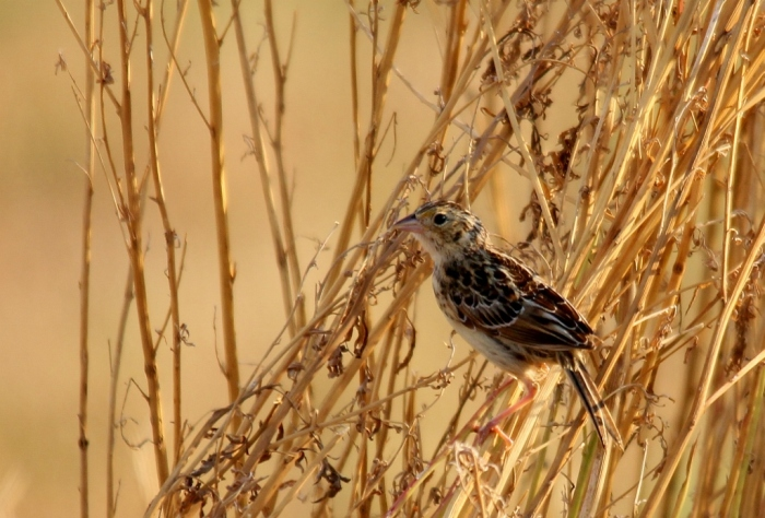 Grasshopper Sparrow (1024x694)