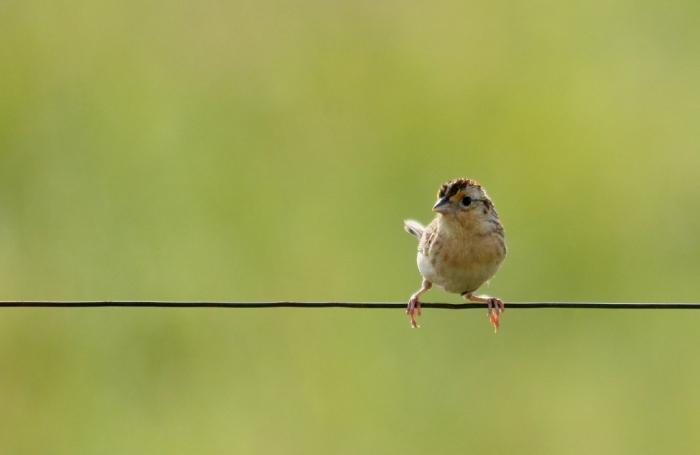 Grasshopper Sparrow (14) (1024x666)