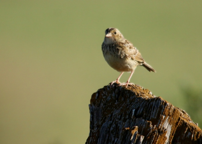 Grasshopper Sparrow (21) (1024x732) (1024x732)