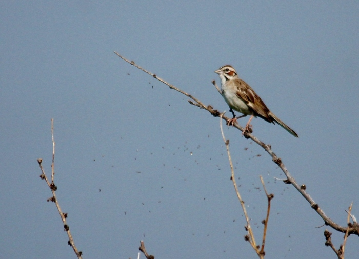 Lark Sparrow (70) (1024x740)