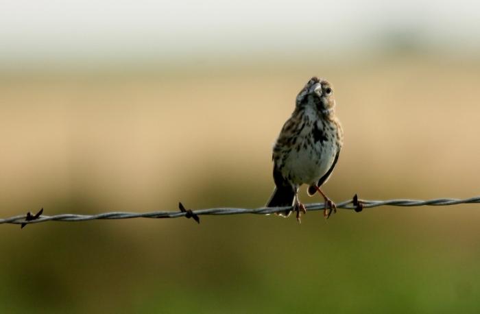 Lark Sparrow (72) (1024x671)
