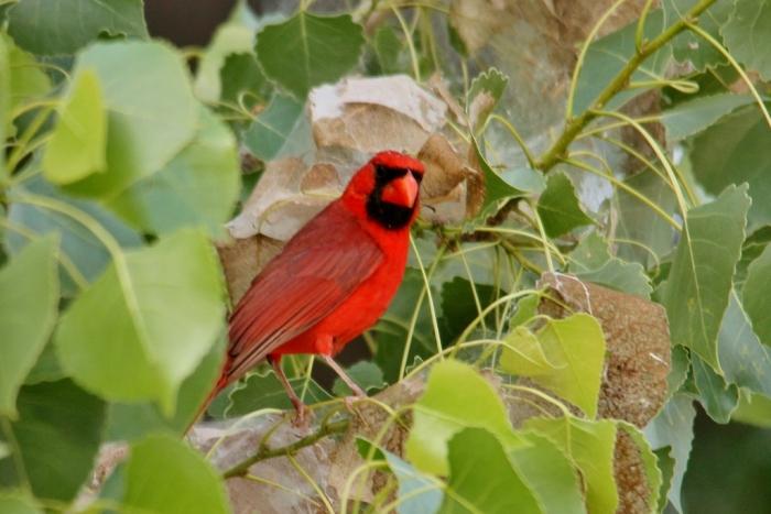 Northern Cardinal (106) (1024x684)