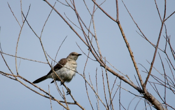 Northern Mockingbird (82) (1024x648)