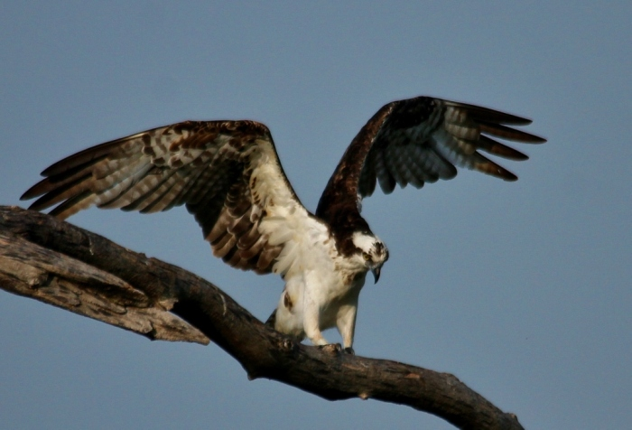 Osprey (63) (1024x697)