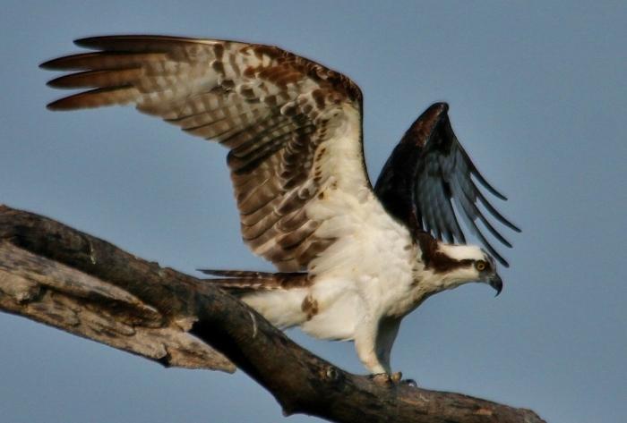 Osprey (64) (1024x693)