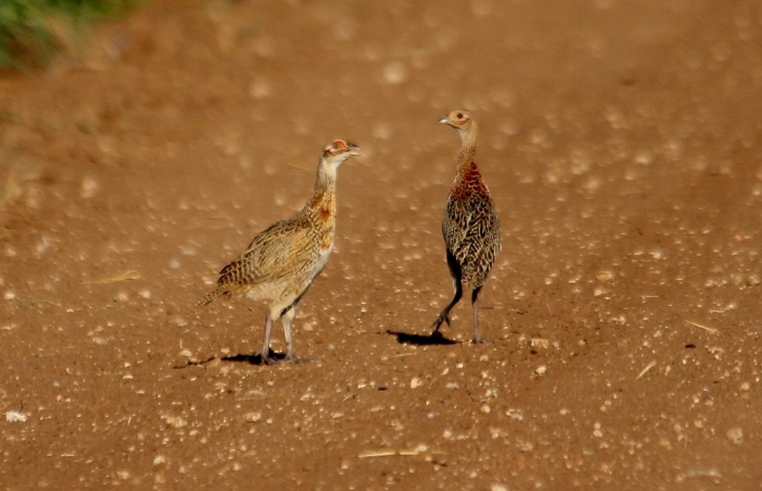 Ring-necked Pheasant fledglings (4) (1024x661)
