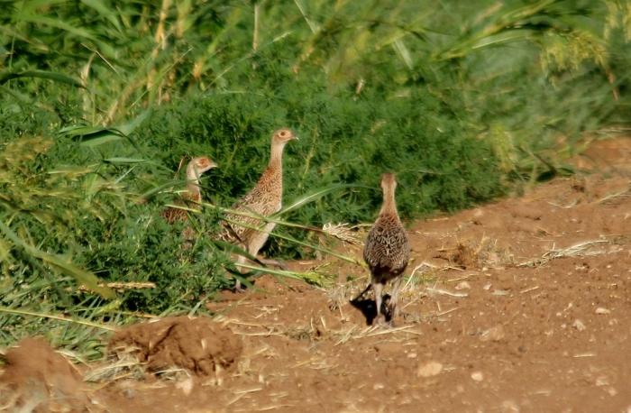 Ring-necked Pheasant fledglings (6) (1024x671)