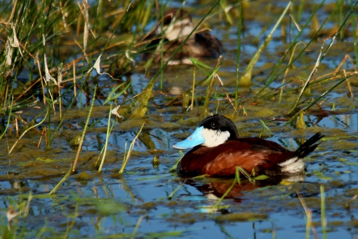 Ruddy Duck (65) (1024x684) (1024x684)