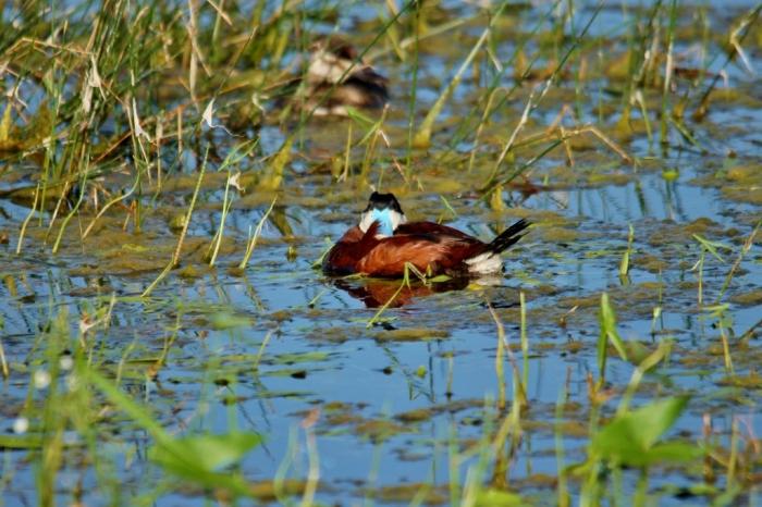 Ruddy Duck (66) (1024x683) (1024x683)
