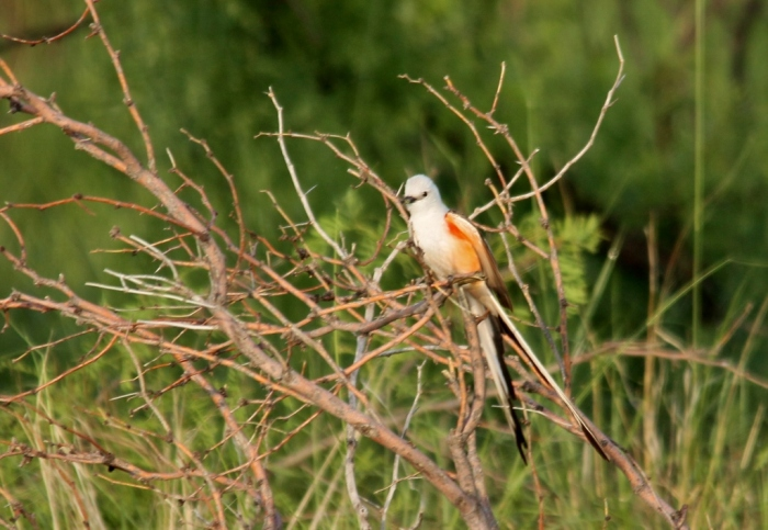 Scissor-tailed Flycatcher (190) (1024x707)