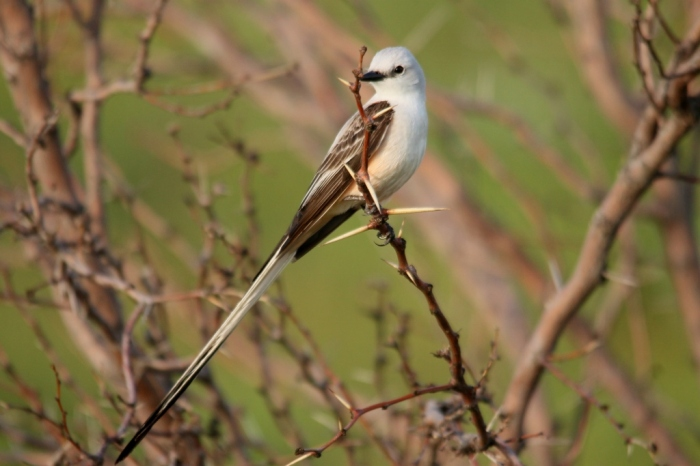 Scissor-tailed Flycatcher (195) (1024x683)
